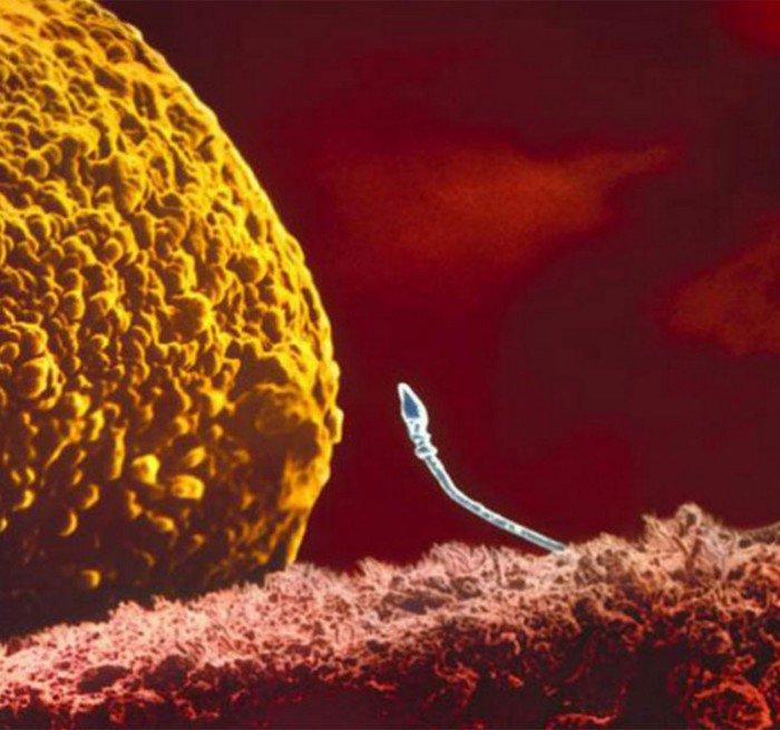 magazine-life-evolution-embryon-spermatozoide-approche-ovule