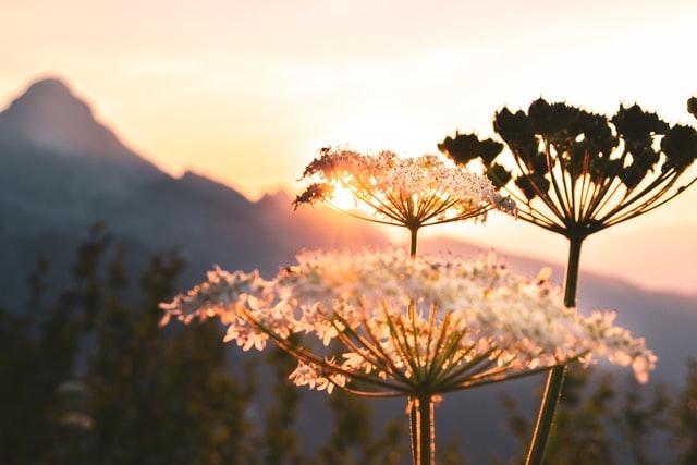 Blumen im Vordergrund. Ein Sonnenaufgang mit Bergen im Hintergrund