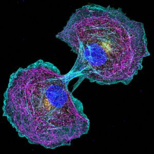COS cells labeled for actin (cyan), microtubules (magenta), clathrin (yellow) and nucleus (blue)