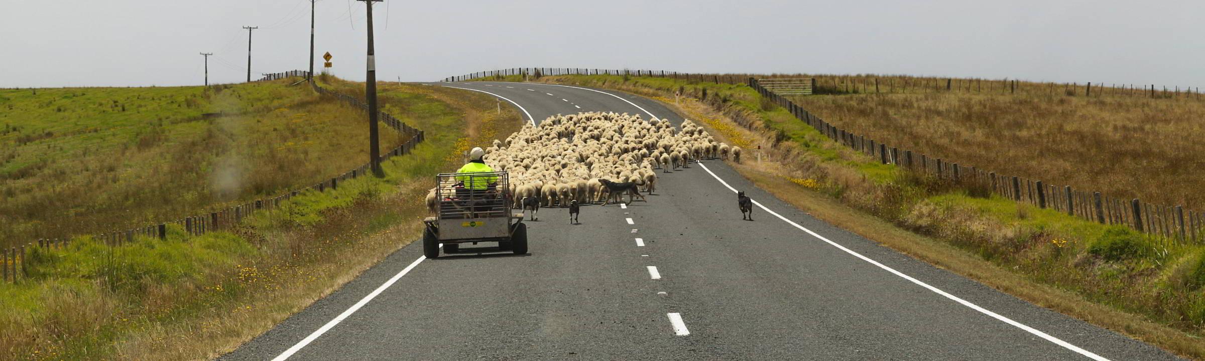 Schaafe mit Hirten auf neuseeländischen Straßen