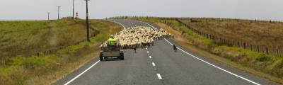 Neuseelands Schafe
