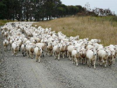 Schafe auf der Gravel-Road