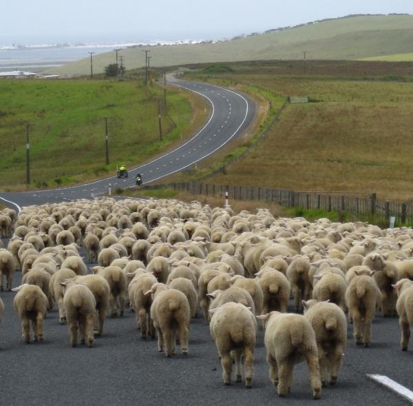Schafe auf der Straßen