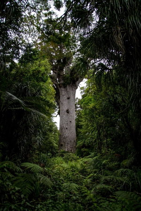 Tane Mahuta der bekannteste Kauri Tree