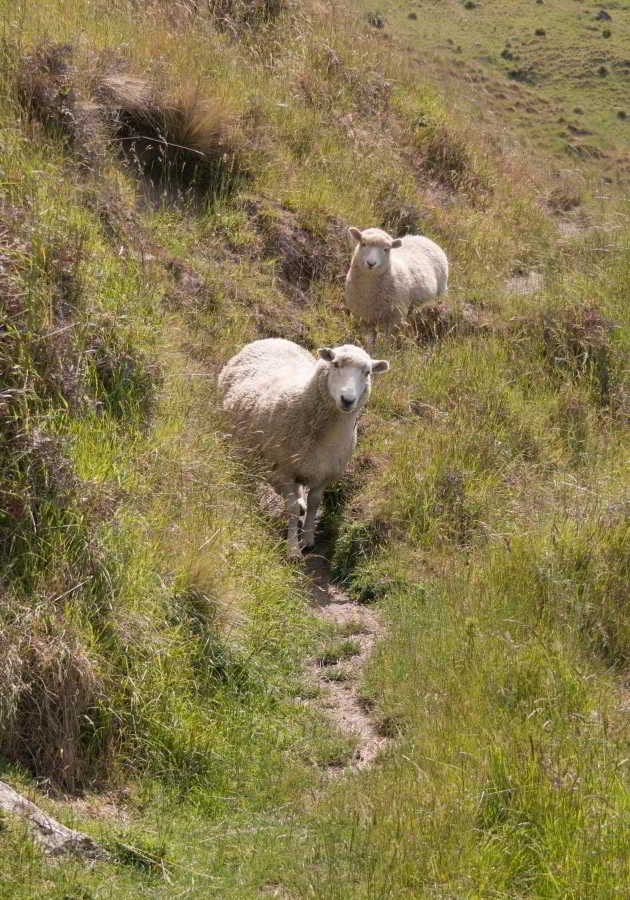 Schafe auf dem Weg
