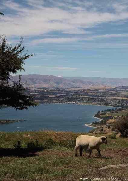 Ein Lamm hoch über Lake Wanaka
