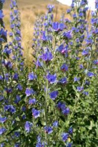 Blühende Blumen auf dem Lindis Pass