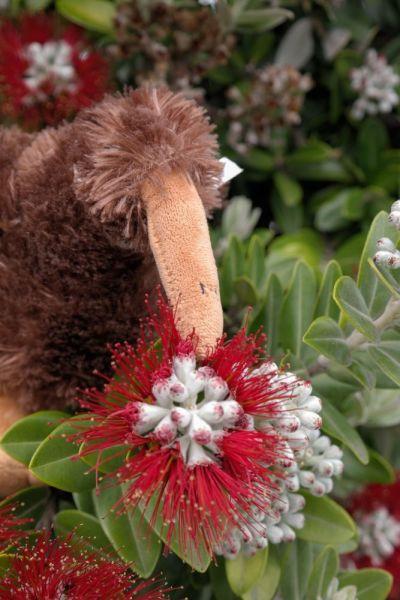 Kiwi im Pōhutukawa