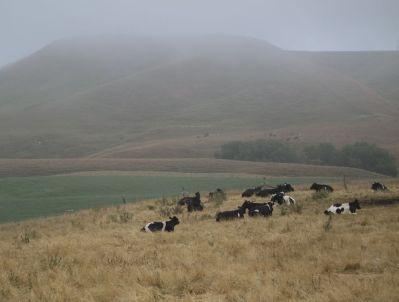 Kühe auf der Weide Kaikoura