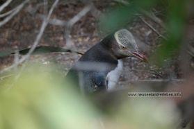 Ein Gelbaugenpinguin auf dem Zug zu seinem Nest.