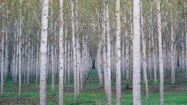 Birken Foto: Michael Vogler