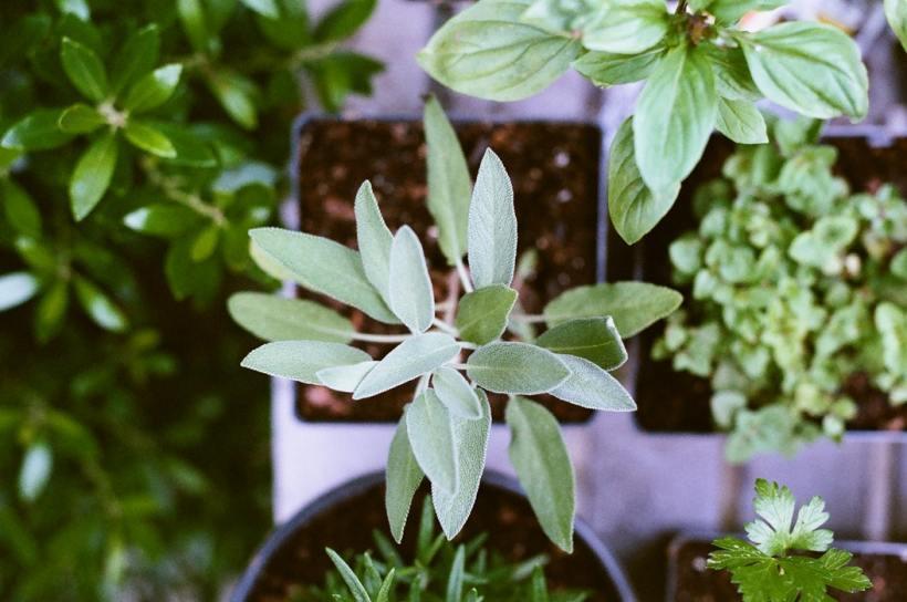 Planta Moringa