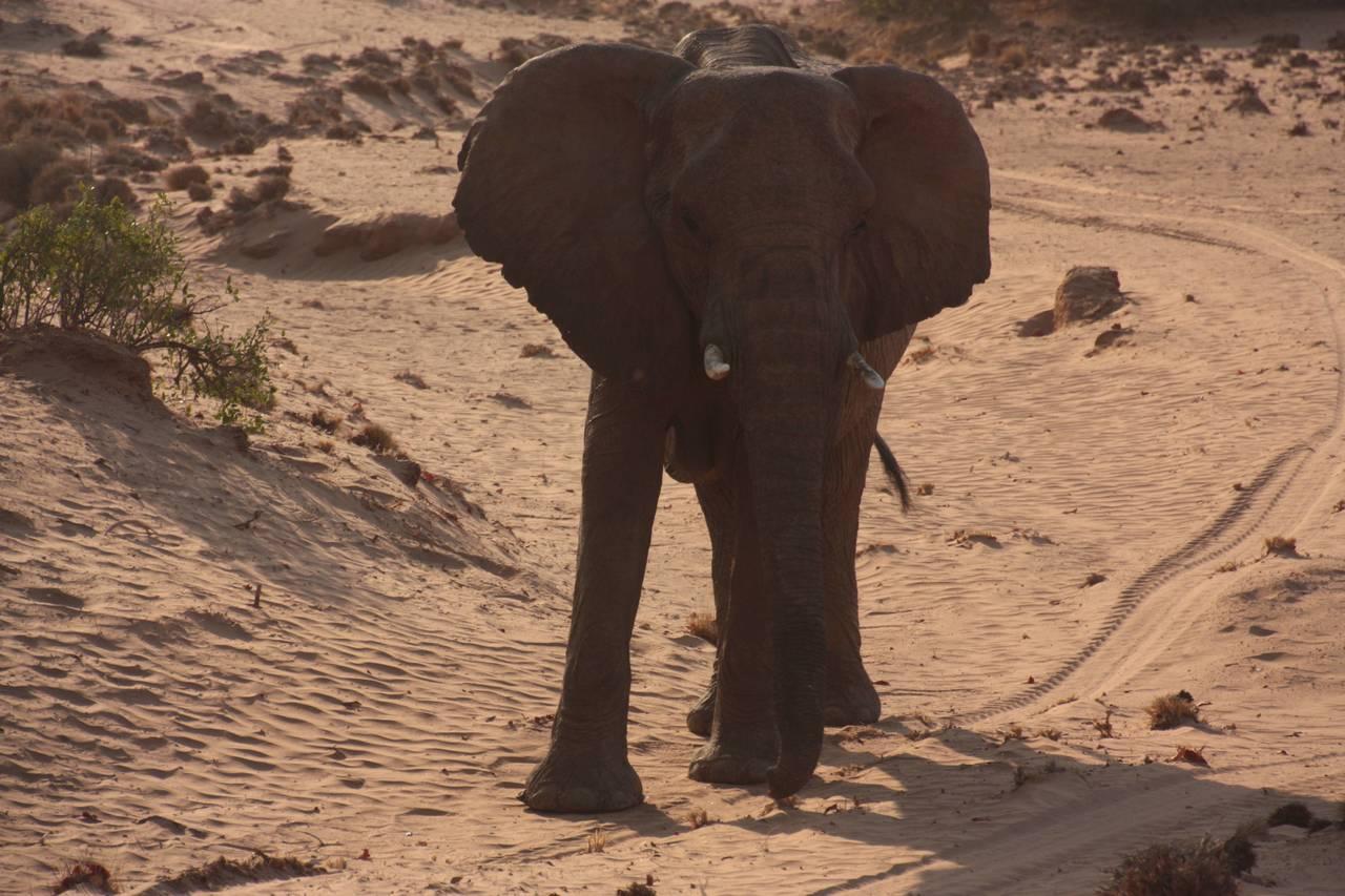 Elefante adaptado al desierto
