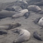 Elephant seals on the beach as far as you can see are a sight you will not soon forget!