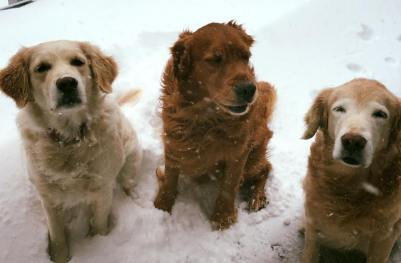 Dogs squinting in blowing snow