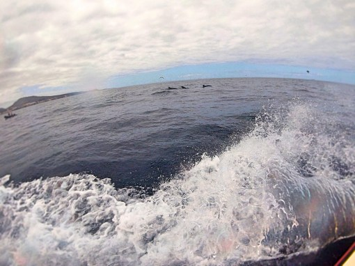 Dolphins from Boat