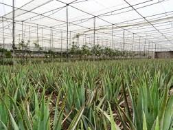 Aloe Plantation