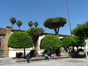 Drago Trees in Teror