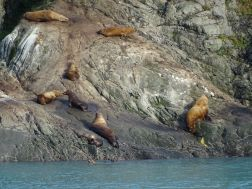 Sea Lions Yakutat Bay