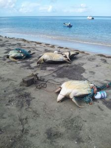 Turtles caught by local fisherman