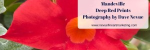 Mandeville Deep Red Flower Prints – Photography by Dave Nevue