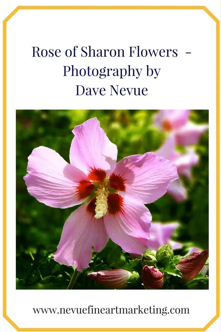 Rose of Sharon Flowers Print. Photography by Dave Nevue