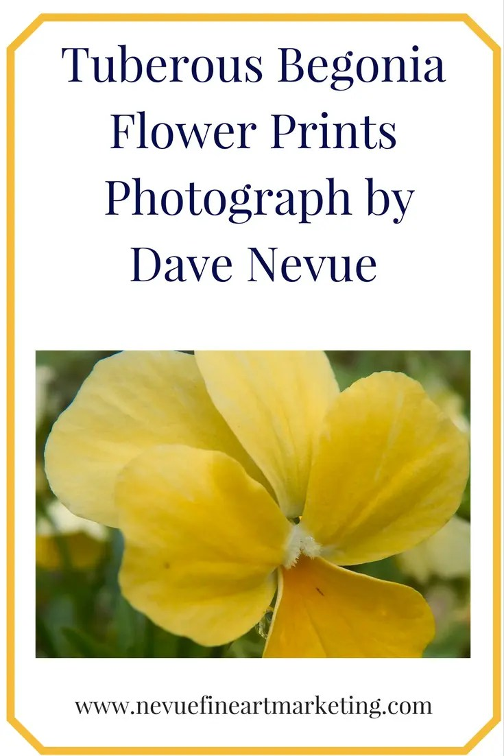 Tuberous Begonia Flower Prints - Photograph by Dave Nevue.Purchase prints and greeting cards. Reference imaged for visual artists.