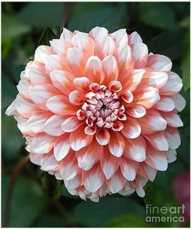 dihilia flower soft pink tones