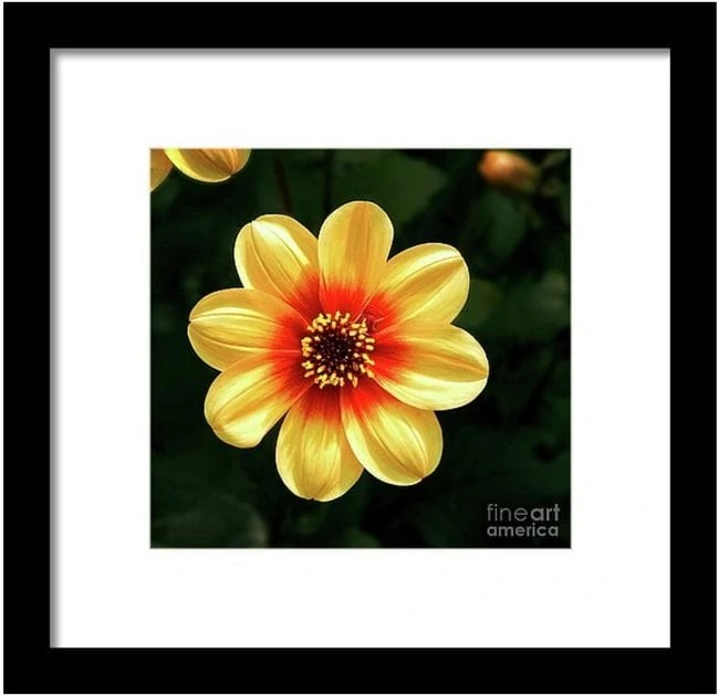 Dahlias Flower - Yellow Tones Photography by Dave Nevue