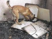 brandspurhund
