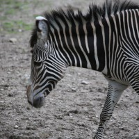 17-06-2015_Tierbilder_Augsburger-Zoo_Poeppel_new-facts-eu0089