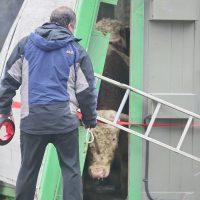 Schelklingen Viehtransporter