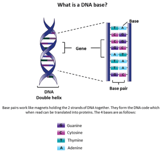 what is a dna base