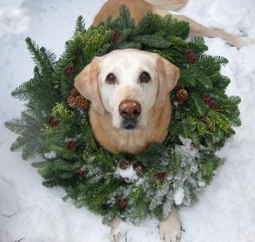 12 Dog Holiday Photo Ideas Images Funny Christmas Card
