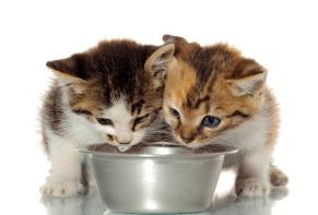 kitten drinking water