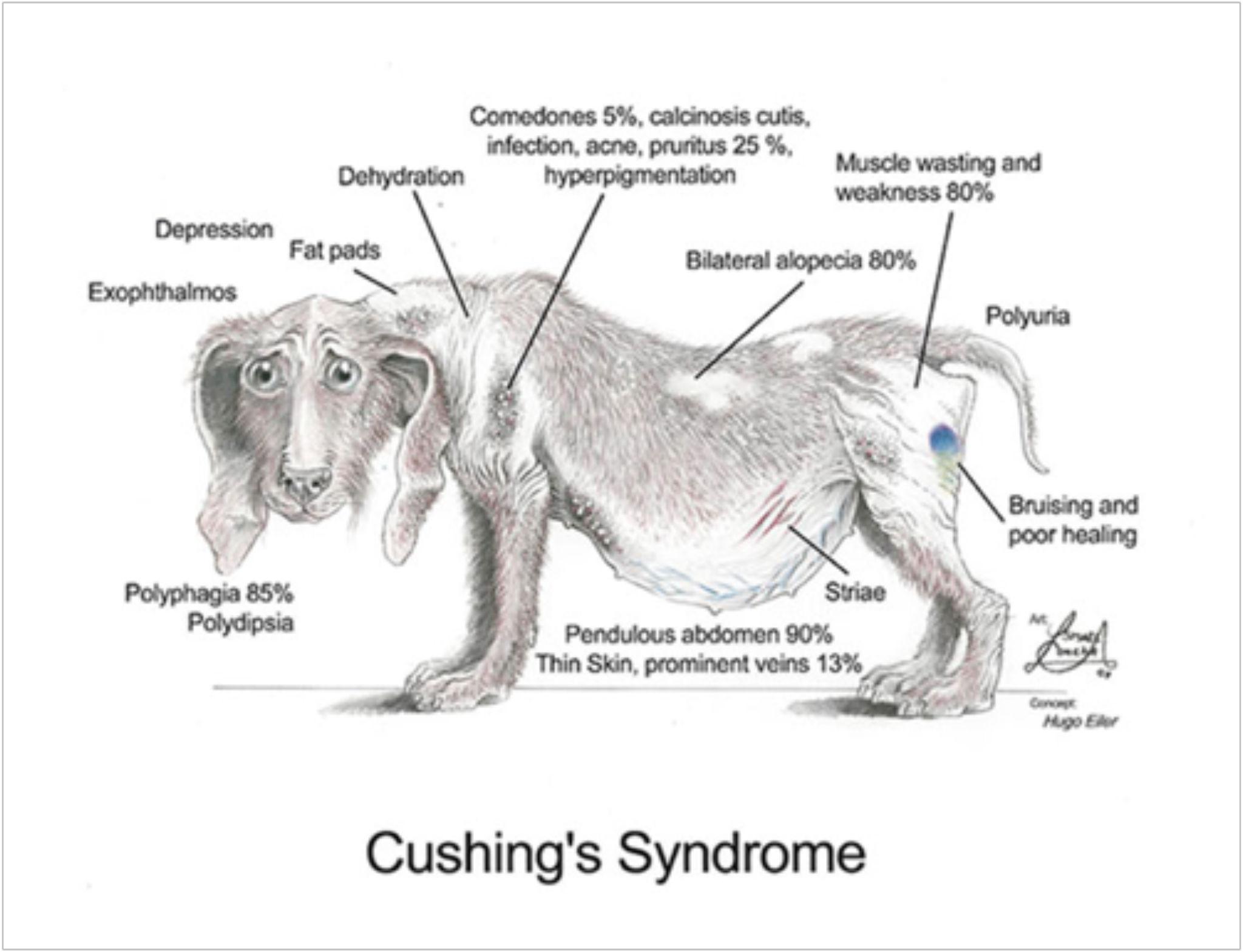 Cushing S Disease In Dogs