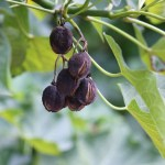 """Undated: Because of its oil-rich seeds, the jatropha plant from Central America was hailed as a """"miracle crop"""" that could provide large volumes of biofuel for Africa. (Photograph by Graham von Maltitz)"""