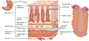 What Are the Layers of the Stomach? | New Health Advisor