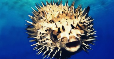 Puffer fish facts