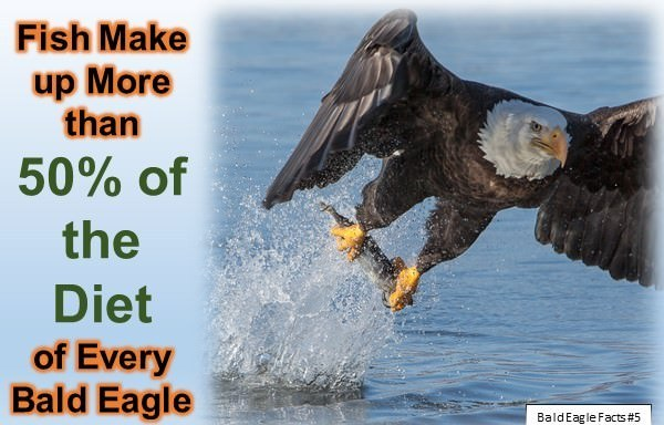 Bald Eagle Facts for Kids: 10 Interesting Facts about Bald Eagles