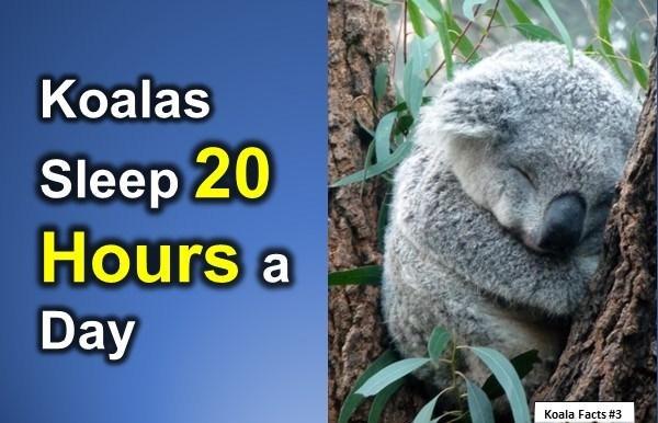 Koala Pictures For Kids - Info