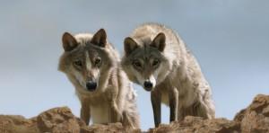 Le Dernier Loup de Jean-Jacques Annaud deux loups