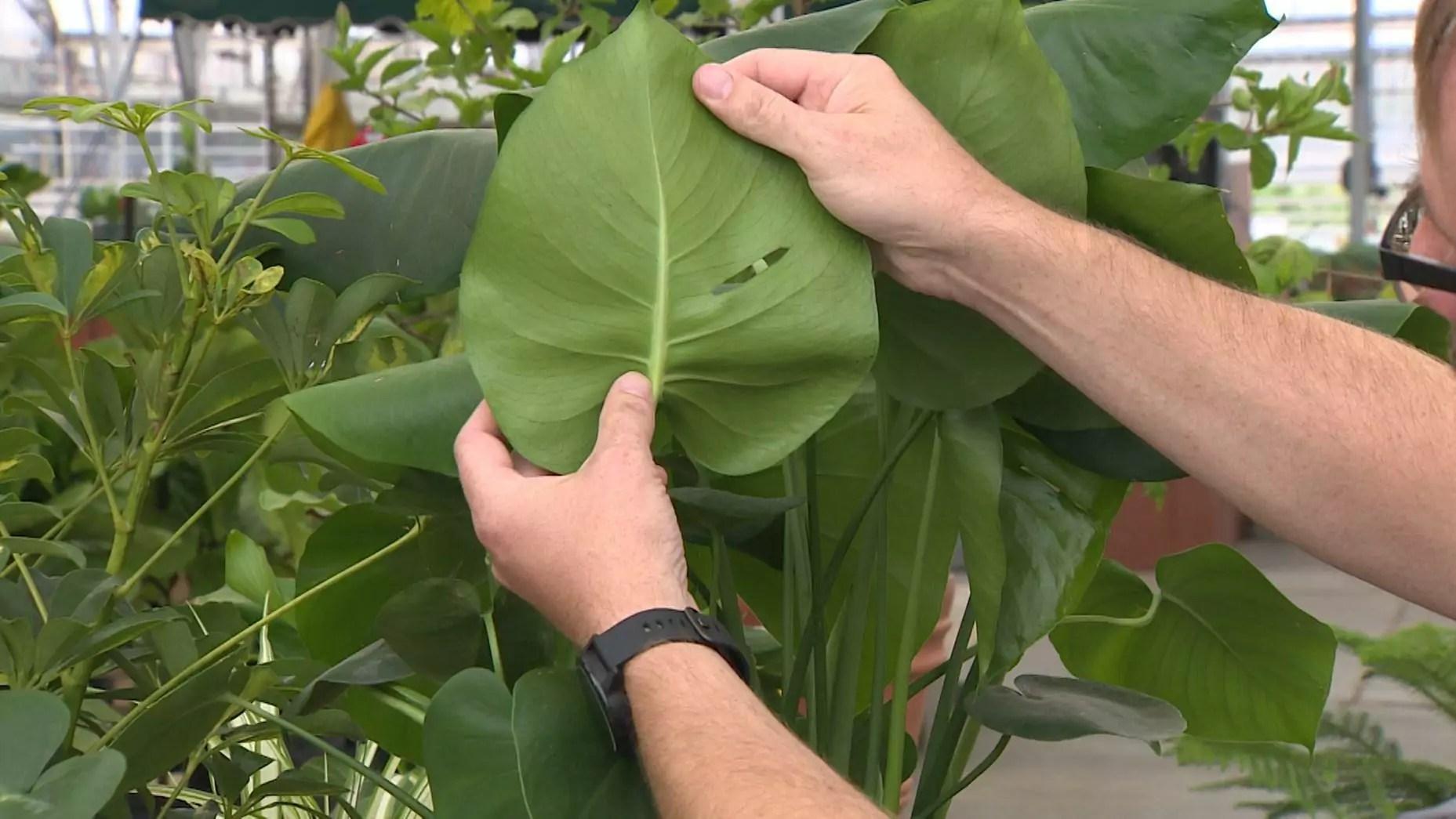 Hands handle a large leaf.