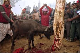 Animal sacrifice in Sulia Yatra
