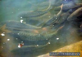 Kudo Fish of Huma Shiva Temple