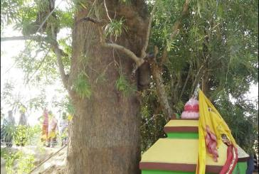 Latest Photos and Images of Lord Jagannath Daru for Nabakalebara 2015