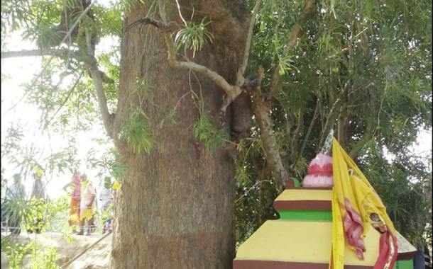 Latest Photos and Images of Lord Jagannath Daru for Nabakalebara 2015
