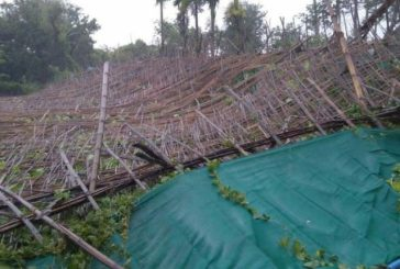 Betel Leaf Plantation Destroyed As Cyclone Amphan Hits Odisha