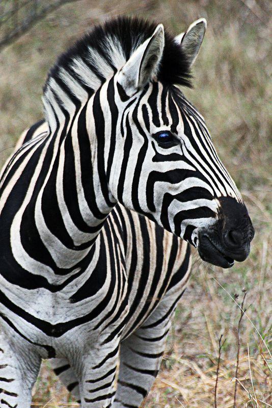 صور حمار وحشي Zebra بجودة عالية Hd فوتوجرافر