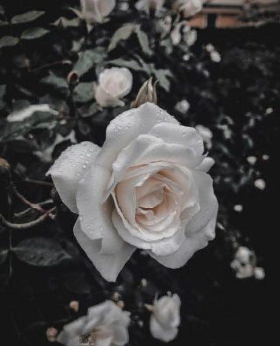 أجمل ورد ابيض في العالم 2018 صور ورد وزهور Rose Flower Images
